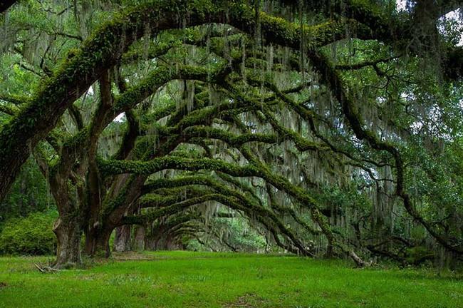 Avenue oak