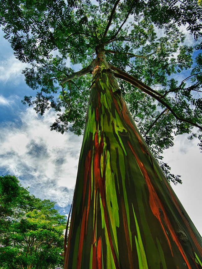 Rainboe eucalyptus 2