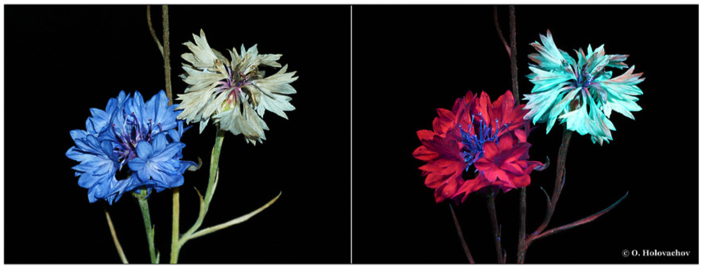 atemberaubende fotographien von pflanzen die licht im unsichtbaren frequenzbereich ausstrahlen. Black Bedroom Furniture Sets. Home Design Ideas