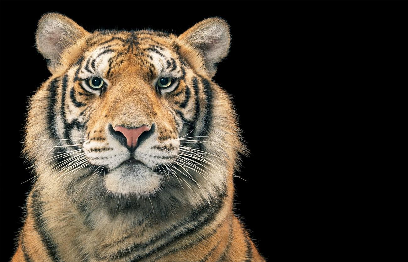 Ein Fotograf fängt majestätische und ausdrucksvolle Porträts der am meisten gefährdeten Spezies der Welt ein