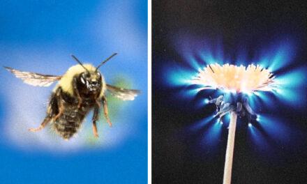 Bioelektrizität und Chi – Bienen können die Energiefelder von Blumen spüren, um mit ihnen zu kommunizieren